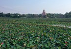 Lotus flowers in full bloom in Quang Tri province
