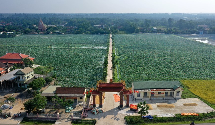 Lotus flowers in full bloom in Quang Tri province