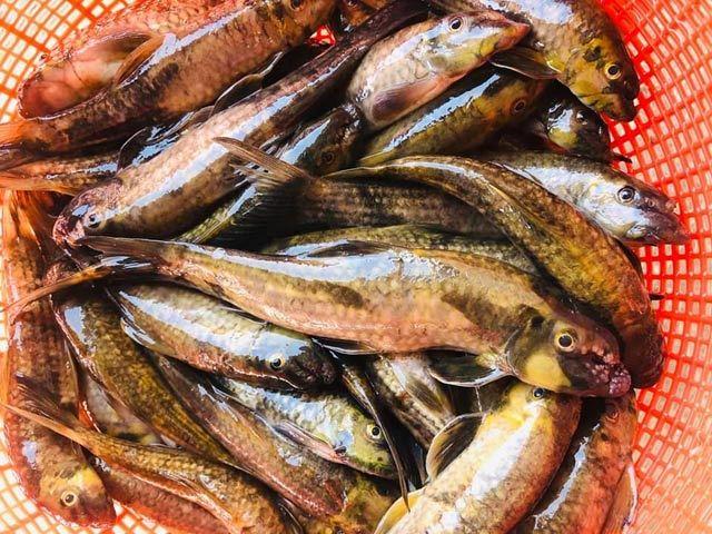Quảng Ngãi: 'Đệ nhất cá suối' có tiền cũng không dễ mà mua