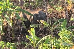 Clip voi rừng phá hoa màu của người dân ở Đắk Lắk