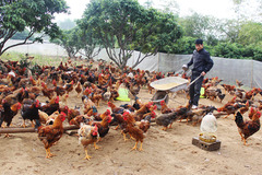 Thịt lợn đắt đỏ, ăn gà đặc sản giá rẻ lại có lợi sức khoẻ