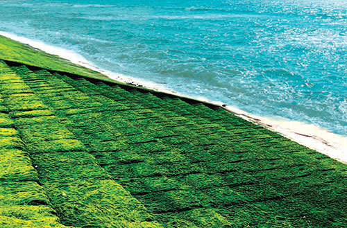 Ngạc nhiên, 1 bãi biển ở tỉnh Bình Thuận mọc thảm rêu xanh khổng lồ