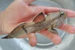 Quái kiệt biến cá đặc chủng độc lạ thành cá kiểng, tiền đô thu đều