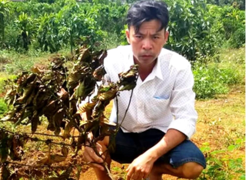 Gần trăm cây bơ trồng chưa 'nóng rễ' bị kẻ xấu nhổ trộm