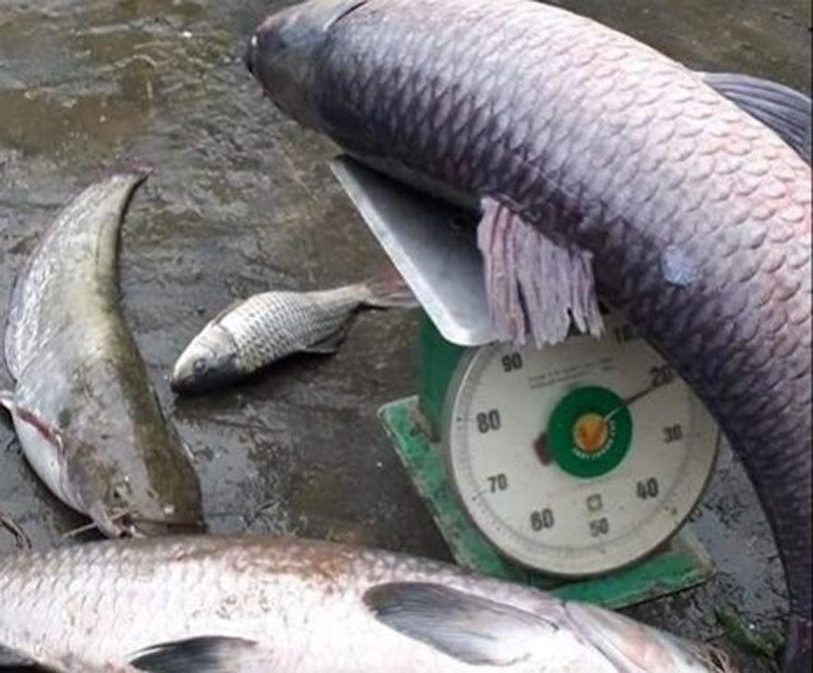 Huyền thoại 'thủy quái' khổng lồ 600 kg trên sông Cửu Long