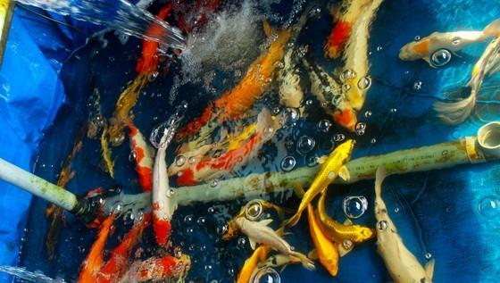 Thanh niên khởi nghiệp từ cá Koi, thu nửa tỷ mỗi năm