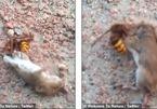 Ong bắp cày vật lộn với chuột, tiêu diệt đối thủ trong vài giây
