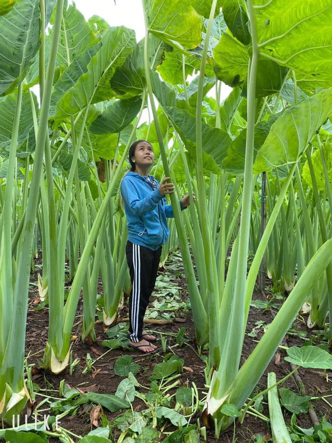 Đồng Nai: Vườn dọc mùng khủng, cao quá đầu người gây ngỡ ngàng