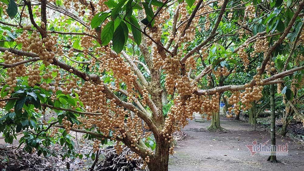 Mê mẩn vườn dâu lớn nhất miền Tây, trái kín đặc từ gốc đến ngọn