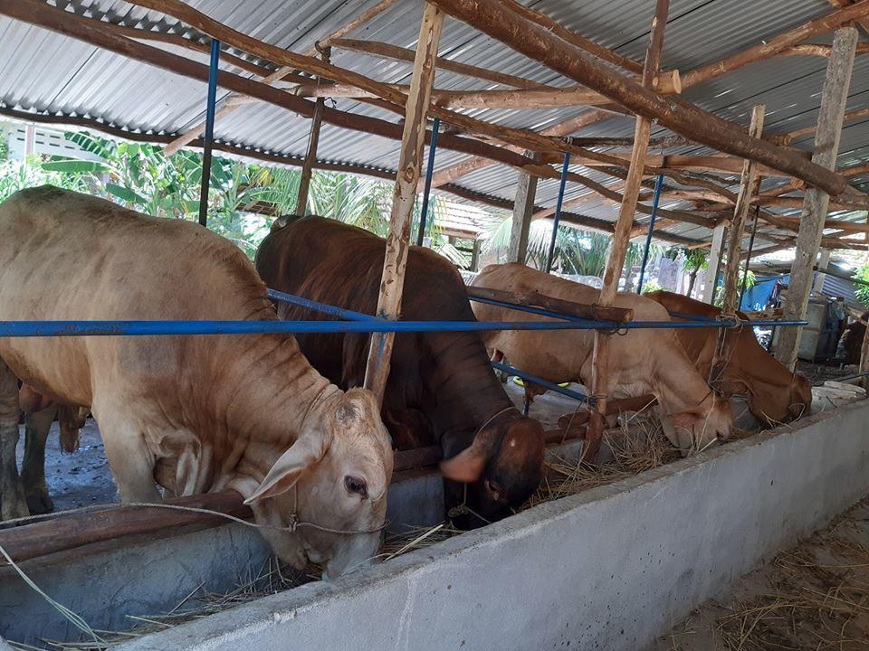 Thoát nghèo nhờ vỗ béo bò thịt đúng quy trình kỹ thuật