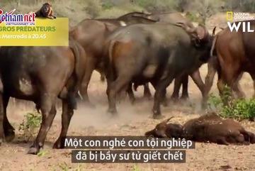 Màn trả thù 'tàn độc' của trâu rừng với sư tử