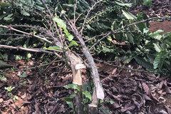 Gia Lai: Xót xa, kẻ ác chặt ngang thân 2.000 cây cà phê chi chít trái non