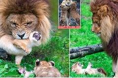 Sư tử đực vất vả trông 5 con khi 'vợ' đi vắng