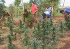 2 chị em chăm sóc kỹ hàng trăm cây cần sa, khai lấy lá cho gà ăn