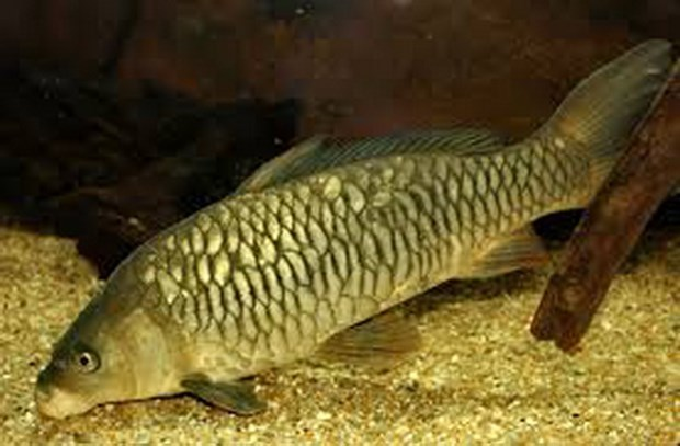 new strain of common carp,Cyprinus carpio,Vietnam Academy of Science and Technology