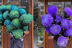 Hoa cúc xanh khổng lồ đắt gấp 20 lần hàng chợ có gì đặc biệt mà gây 'sốt'?