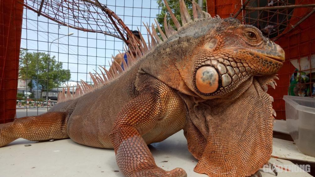 Cận cảnh rồng Nam Mỹ 'khủng' hút người xem ở Bạc Liêu