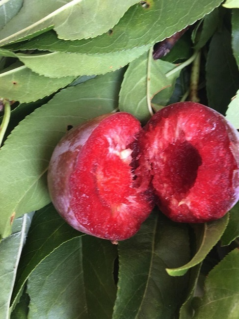 Loại mận Việt Nam đắt ngang nho Mỹ, ngọt như cherry được chị em săn lùng
