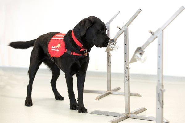 Anh thử nghiệm huấn luyện chó đánh hơi Covid-19