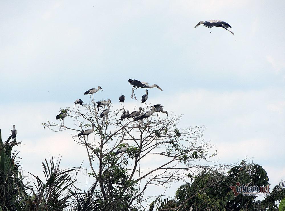 Kỳ lạ, vườn cây bỏ hoang của lão nông miền Tây có hàng nghìn con cò quý hiếm