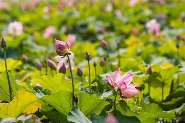 Lotus ponds a special touristattracts in Uncle Ho's homeland