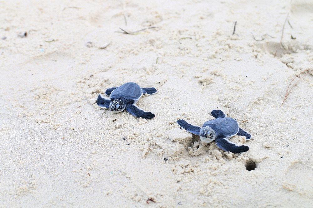 Bringing turtles back to Cham Isle