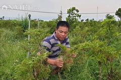 Nam Định: Đinh lăng giá rẻ như cho, từ cây làm giàu thành cây 'chết dở'