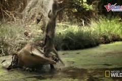 Xem cá sấu khổng lồ quật nát chuột túi trong tích tắc