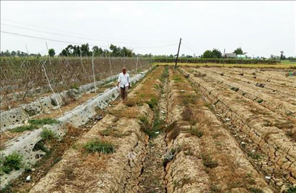 Long An,water shortage,save the dying mangrove trees,prevent saltwater intrusion
