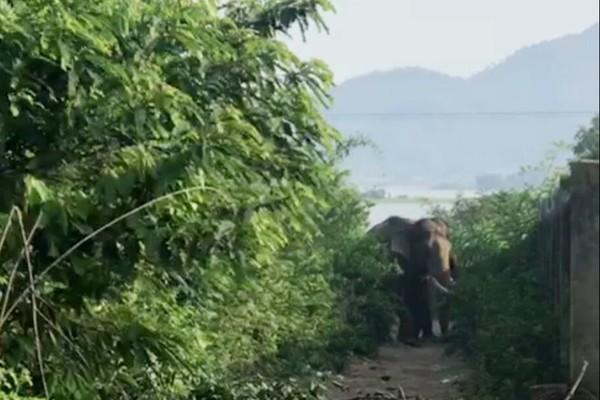 Voi đực vào mùa sinh sản, quật chết người ở Đắk Lắk