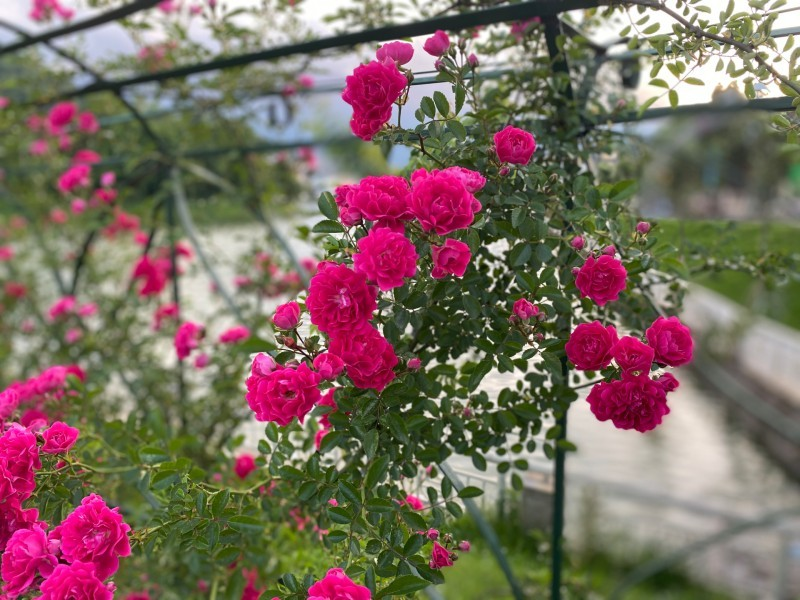 Thung lũng 300.000 gốc hoa hồng, lớn nhất Việt Nam