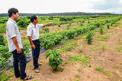 Coffee farms see high yields from new trees