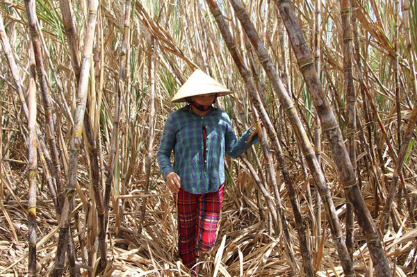Sugarcane farmers in Soc Trang Province unable to sell crop