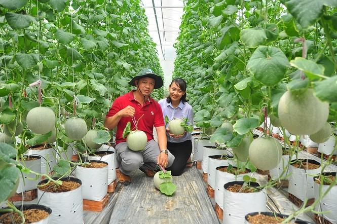 Vườn dưa lưới toàn trái 'khủng' của nữ thạc sĩ 8X ở Vĩnh Long