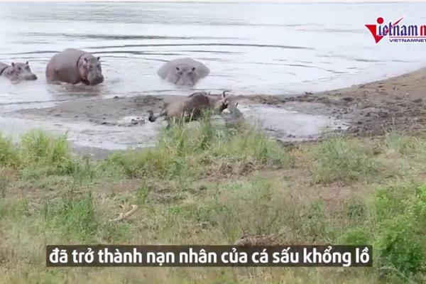 Bị cá sấu kẹp đầu, linh dương bất ngờ được hà mã giải cứu