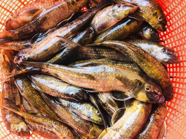 'Tam vương' của loài cá suối ngon, hiếm cỡ nào mà nhiều người tìm mua?