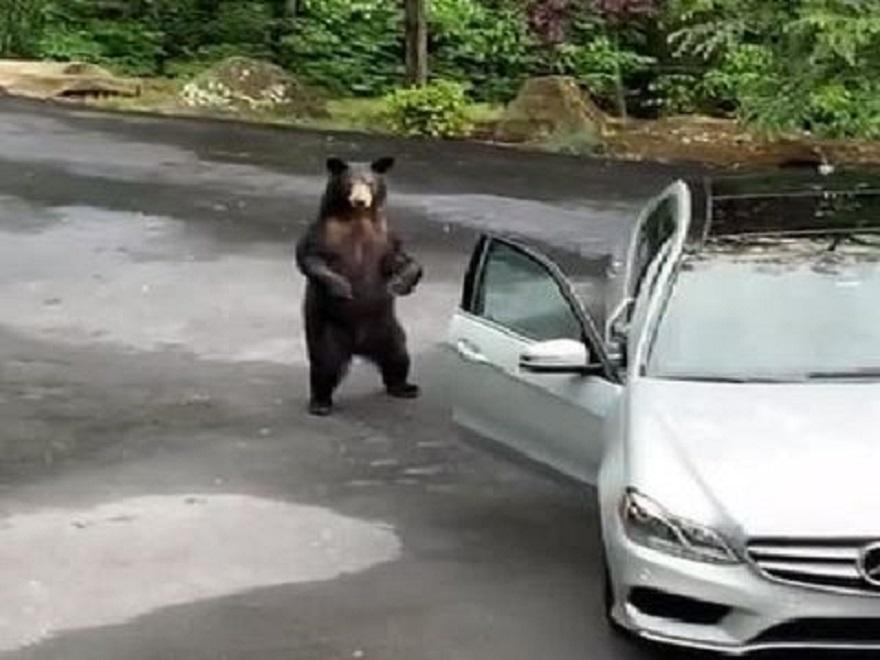 Đỗ ven đường,  ô tô Mercedes bị gấu đen 'hỏi thăm'