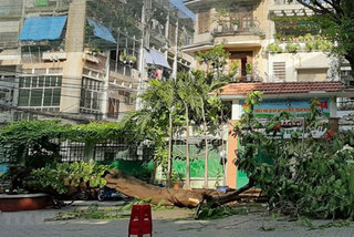 HCM City steps up inspections of trees at risk of falling