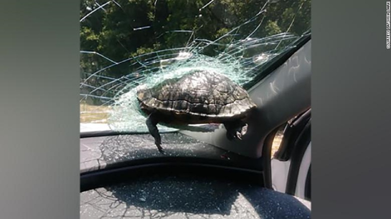 """Lái xe hoảng hồn khi rùa 'bay"""" làm vỡ kính xe"""