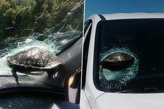 """Lái xe hoảng hồn khi rùa """"bay"""" làm vỡ kính xe"""