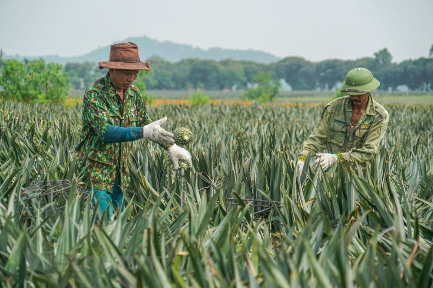 Pineapple fields,ninh binh,vn agriculture,Vietnam in photos