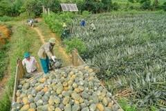 Pineapple fields in Ninh Binh province