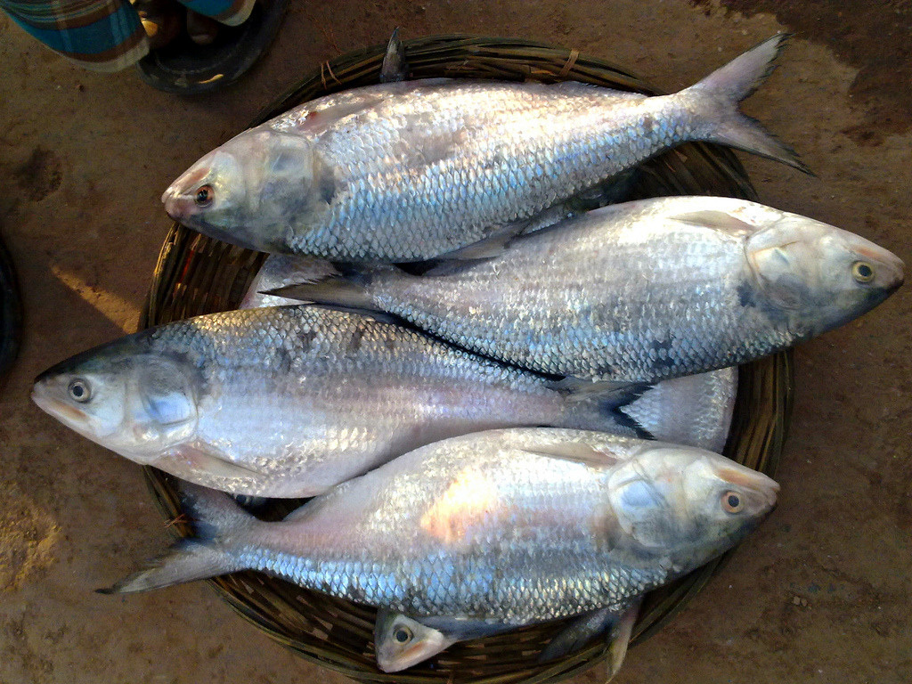 Cá cháy là loại cá quý hiếm, danh bất hư truyền ở sông Hậu