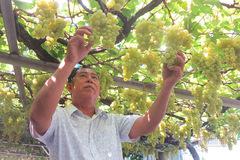 Từ gốc nho bạn tặng, nông dân Sài Gòn thu 500 triệu/năm