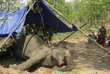 Despite conservation efforts, elephants still in decline