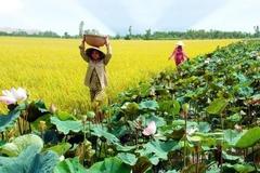 Luân canh sen - lúa giúp nhiều nông dân có thêm thu nhập