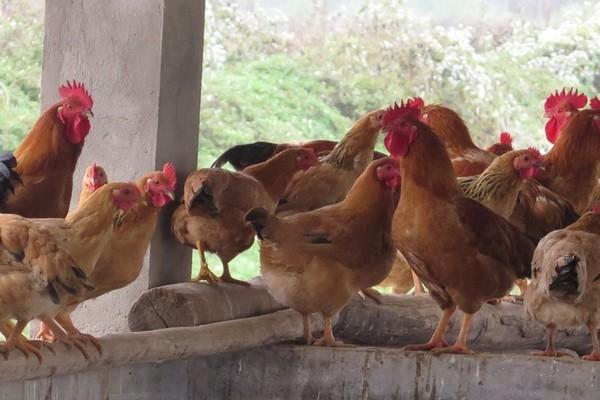 Nuôi gà bằng thảo dược đem lại hiệu quả kinh tế cao