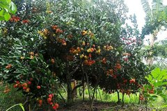 Củ Chi: Có thương hiệu du lịch, các vườn cây ăn trái thu hút khách
