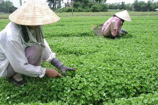 Trồng rau má dại, nông dân Nghệ An cải thiện thu nhập