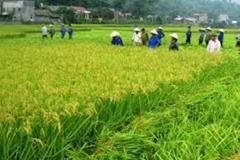 Chuyển đổi sản xuất lúa từ 3 sang 2 vụ/năm, nông dân hưởng lợi